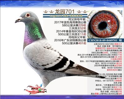 主血种鸽 5