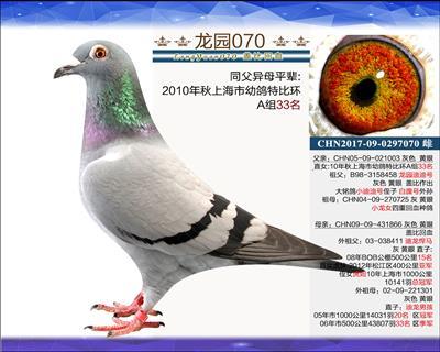 主血种鸽 6