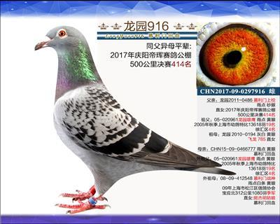 主血种鸽 8