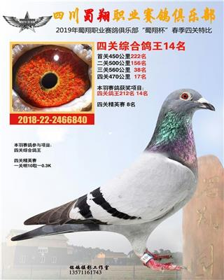 蜀翔四关综合鸽王14名(清棚转让)