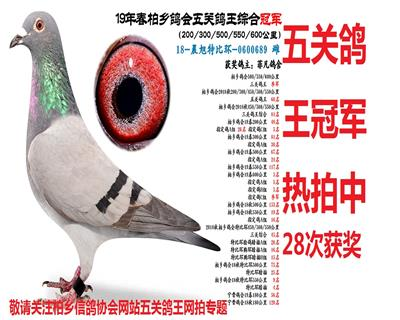 五关鸽王冠军