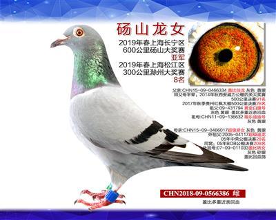 砀山龙女 (600公里亚军)