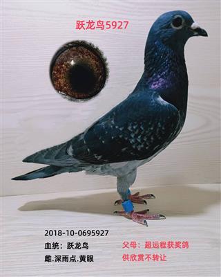 跃龙鸟5927