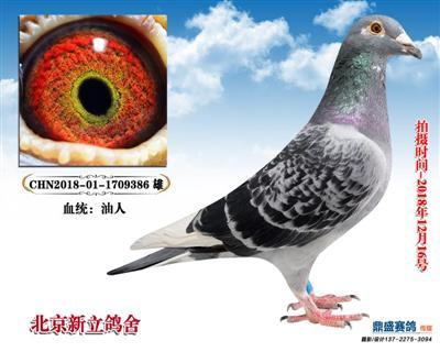 大名鸽【油人系】