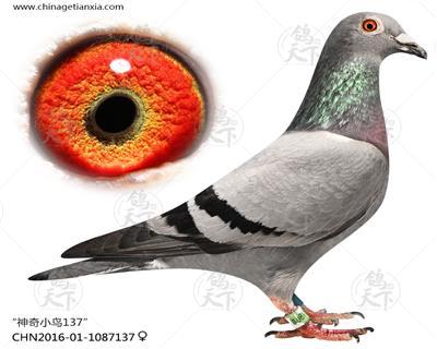 神奇小鸟137