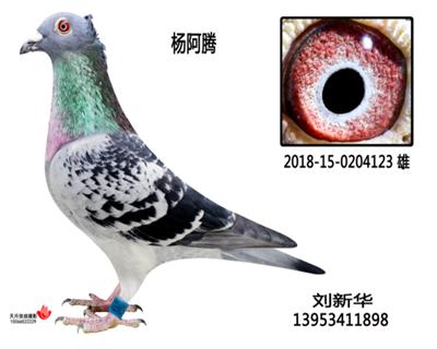 杨阿滕多利鸟冠