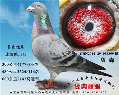 清棚低价处理所有种鸽一羽不留