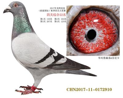 2017龙湾四关综合鸽王22名