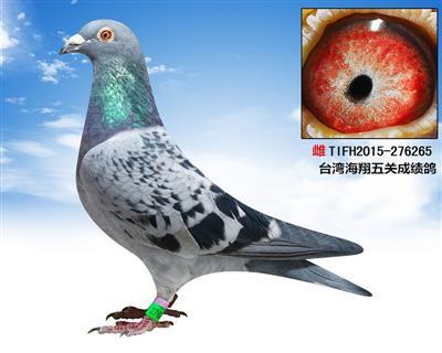 台湾海翔五关成绩鸽