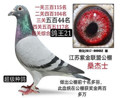 四关鸽王21
