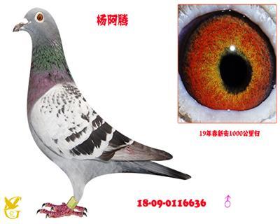 杨阿腾·0116636