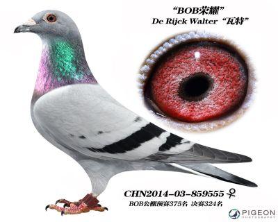 瓦特【BOB公棚奖鸽】