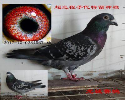超远程特留种鸽