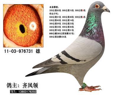 神奇种鸽贝罗佛731