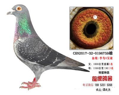 超远程老国血李鸟吴淞精品种鸽3