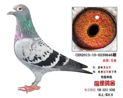吴淞超远程种鸽2