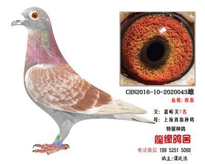 超远程西翁种鸽5