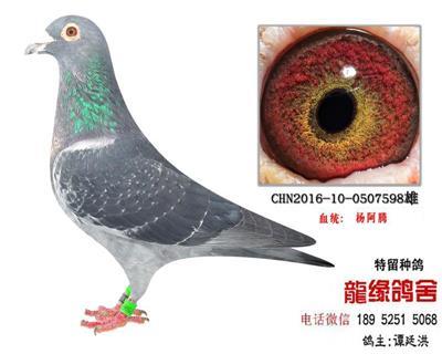 杨阿腾特留种鸽4