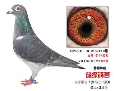 李鸟跃龙极品种鸽5