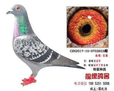 超远程老国血吴淞极品种鸽45