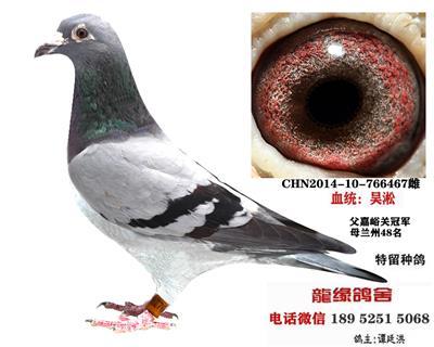 吴淞种鸽35