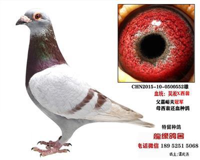 吴淞西翁种鸽3