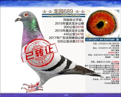优质种鸽 1