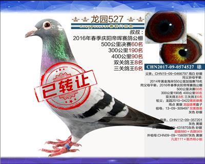 优质中鸽 4