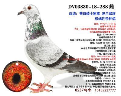 苍白 超级种鸽眼