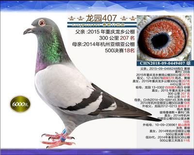 一岁优质种鸽 3