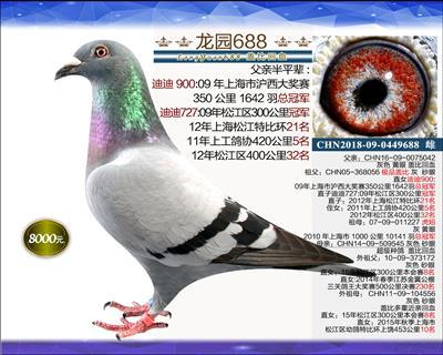 一岁优质种鸽 9
