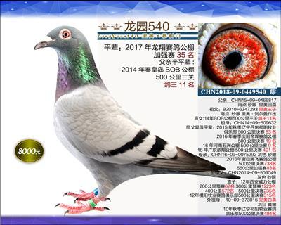 一岁优质种鸽 10