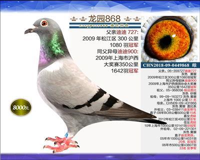 一岁优质种鸽 11