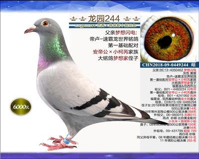 一岁优质种鸽 12