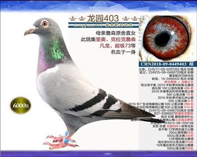 一岁优质种鸽 13