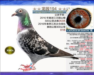 一岁优质种鸽 14