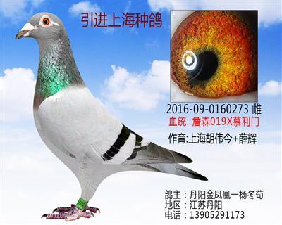 引进上海获奖赛鸽留种