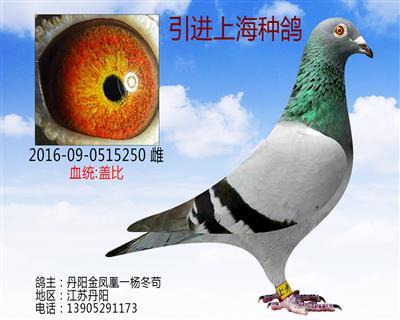 引进上海种鸽