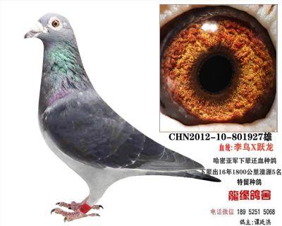 李鸟跃龙种鸽5
