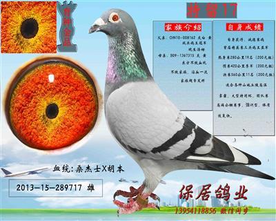 退役种鸽千元专区