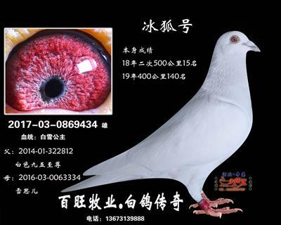 冰狐号(白雪公主)白鸽