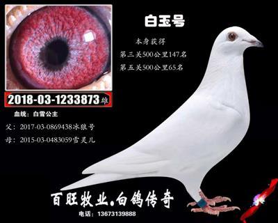 白玉号(白雪公主)白鸽
