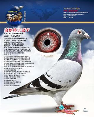 高原鸽王冠军