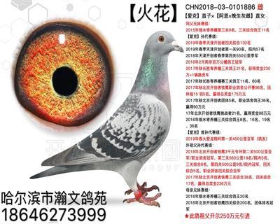 """杨欧瓦克""""花火"""""""