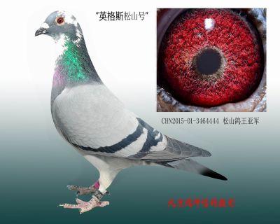 CHN2015-01-3464444 松山鸽王亚军