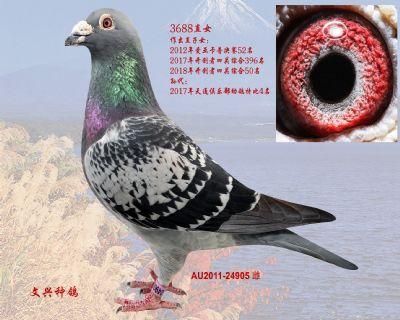 AU2011-24905雌