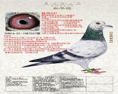 铁风037(作出云外水庄三关鸽王5位)