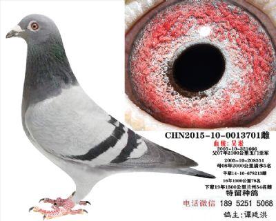吴淞种鸽5