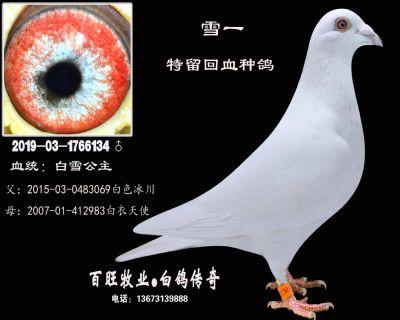 雪一(白雪公主)白鸽
