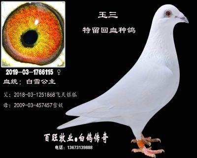玉三(白雪公主)白鸽